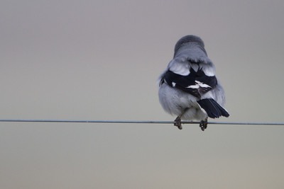 Loggerhead Shrike - Panoche Valley, CA, USA