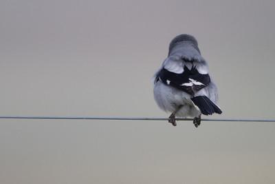 Loggerhead Shrike - Panoche Valley, CA, USA