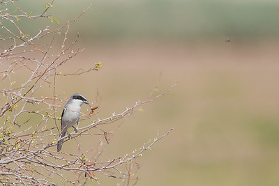 Loggerhead Shrike - Salton Sea Area, CA, USA