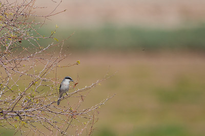 Loggerhead Shrike - Salton Sea, CA, USA