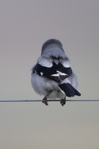 Loggerhead Shrike - View of the back - Panoche Valley, CA, USA
