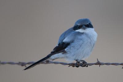 Loggerhead Shrike - Laguna Ave., San Jose, CA, USA