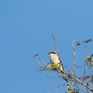 Loggerhead Shrike - Alviso, CA, USA