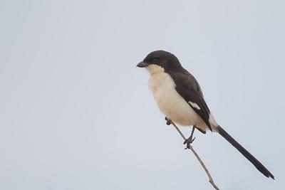 Long-tailed Fiscal - Tarangire National Park, Tanzania