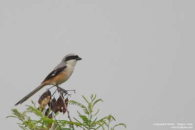 Long-tailed Shrike - Ambazari, Nagpur, India