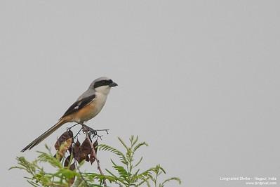 Long-tailed Shrike -  Nagpur, India