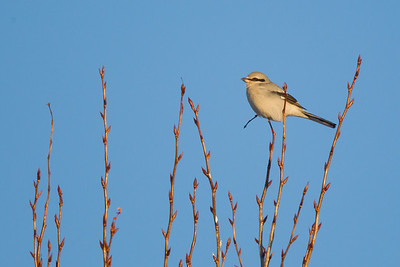 Northern Shrike - Sax-Zim Bog, MN, USA