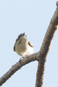 Rufous-tailed Shrike / Isabelline Shrike - Record - Pench National Park, Madhya Pradesh, India