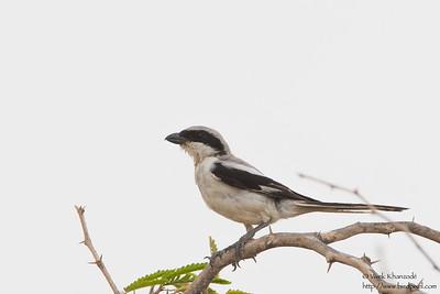 Southern Gray Shrike - Kutch, Gujrat, India