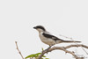 Southern Gray Shrike - Kutch, Gujrat, India