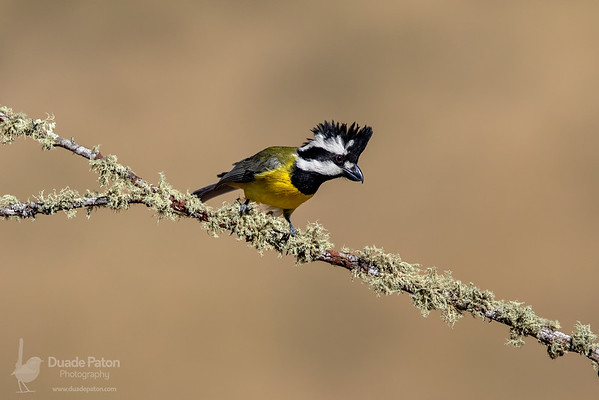 Crested Shrike-tit (Male)