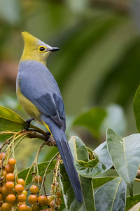 Long-tailed Silky-Flycatcher - Male - Los Quetzales Lodge, Guadalupe, Panama