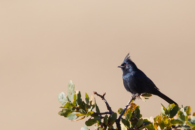 Phainopepla - Male - Mines Road, CA, USA
