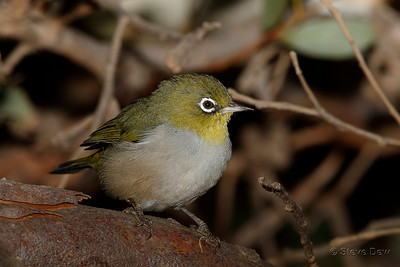 Silvereye - South-western Subspecies