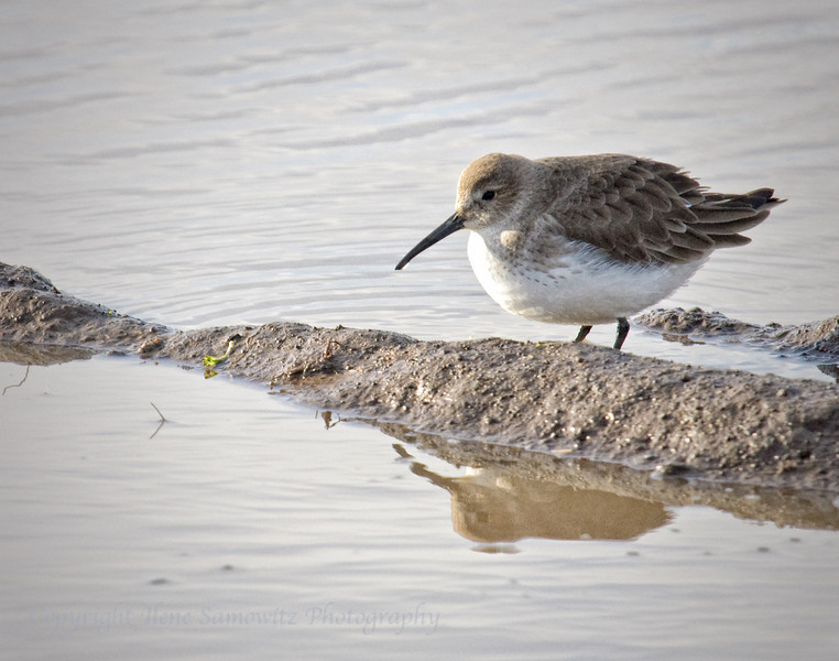 Dunlin - Winter plumage