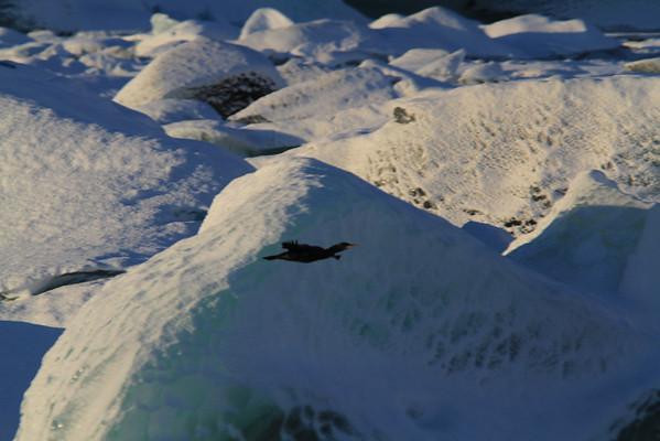 skarfar á austurlandi