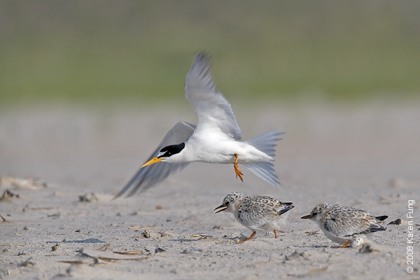 July 9th: Least Tern with chicks (and egg) at Nickerson Beach