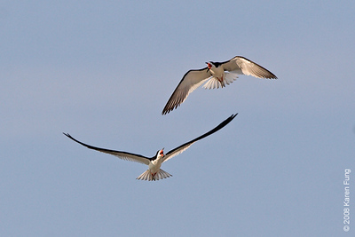 July 19th: Black Skimmers sparring at Nickerson Beach
