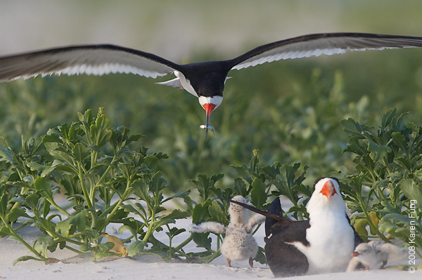 July 19th: Black Skimmer delivering fish to chicks at Nickerson Beach
