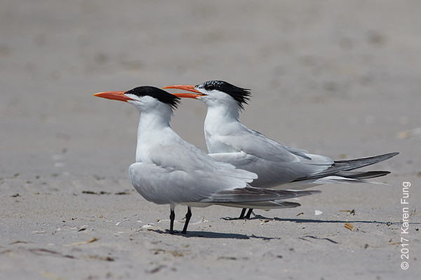 11 June: Royal Terns