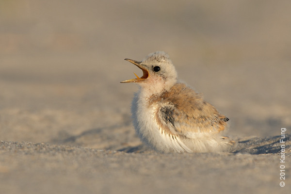 3 July: Least Tern chick begging for food