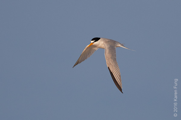 3 July: Least Tern