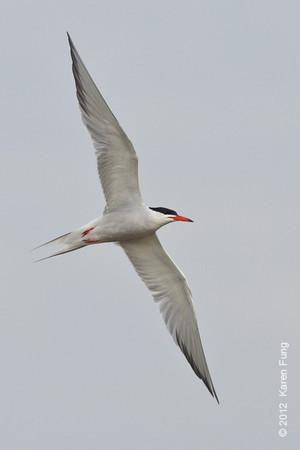10 June: Common Tern at Nickerson Beach