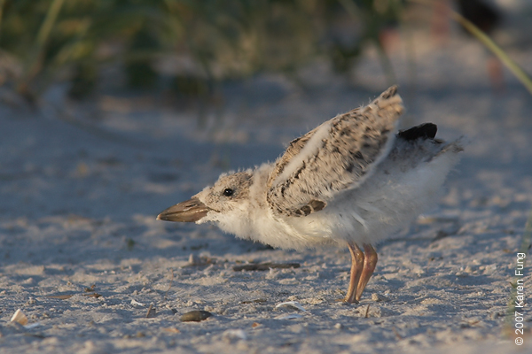 Black Skimmer chick stretching