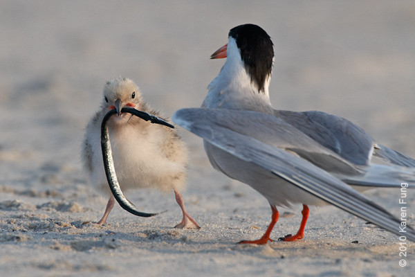 26 June: Common Tern chick with fish