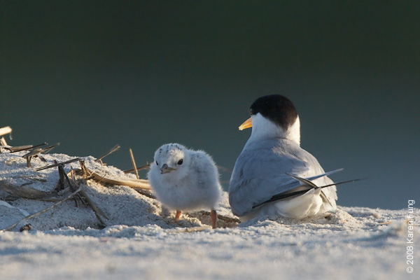 July 11th: Least Tern with chick at dawn at Nickerson Beach