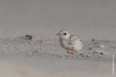 July 9th: Least Tern chick at Nickerson Beach