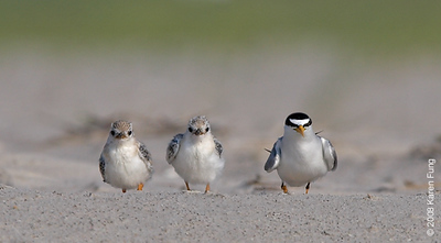 July 9th: Least Tern with chicks at Nickerson Beach