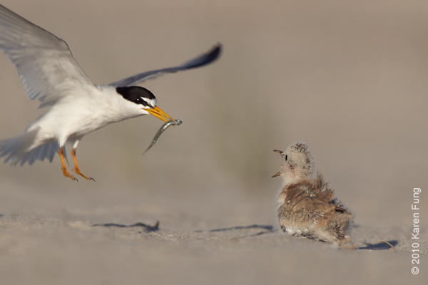 3 July: Least Tern arriving with food for chick
