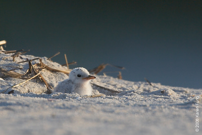 July 11th: Least Tern chick at dawn at Nickerson Beach