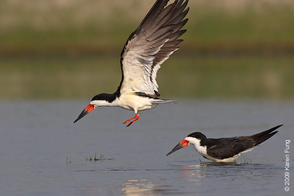 June 30th: Black Skimmers at Nickerson Beach