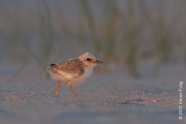 3 July: Least Tern chick at dusk