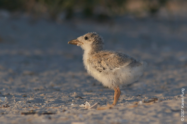 Black Skimmer chick watching the setting sun.