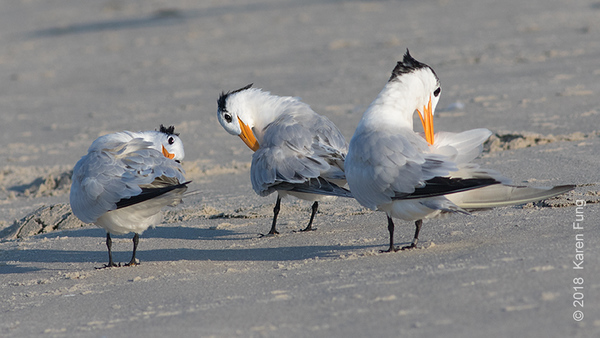 3 Oct: Royal Terns in Cape May (2nd Ave jetty)