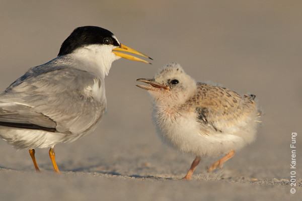 3 July: Least Tern with chick