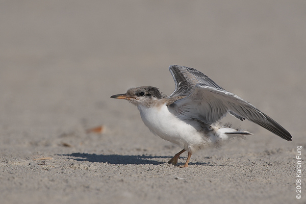 July 11th: Common Tern chick stretching its wings at Nickerson Beach