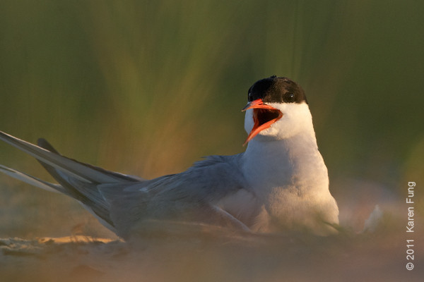 10 July: Common Tern calling at Nickerson Beach