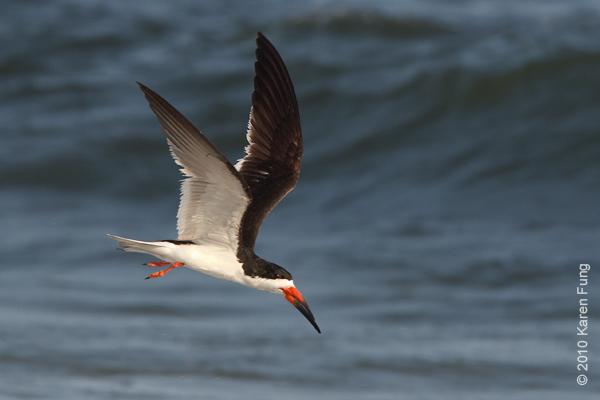 27 July: Black Skimmer in flight