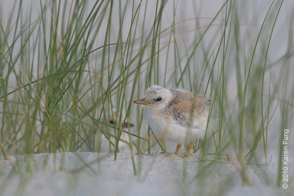 3 July: Least Tern chicks