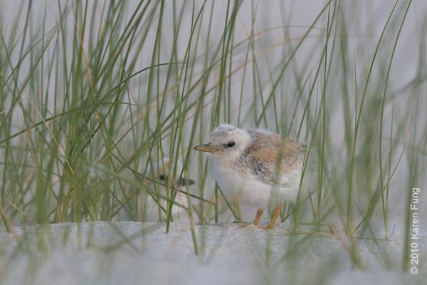3 July: Least Tern chicks