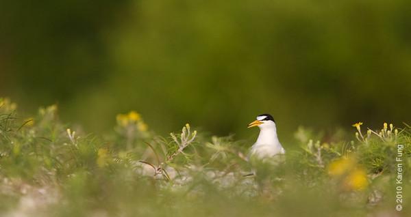 20 June 2010: Least Tern, Suffolk County