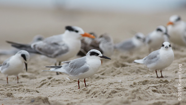 5 Oct: Forster's Terns and Royal Terns  in Cape May, NJ