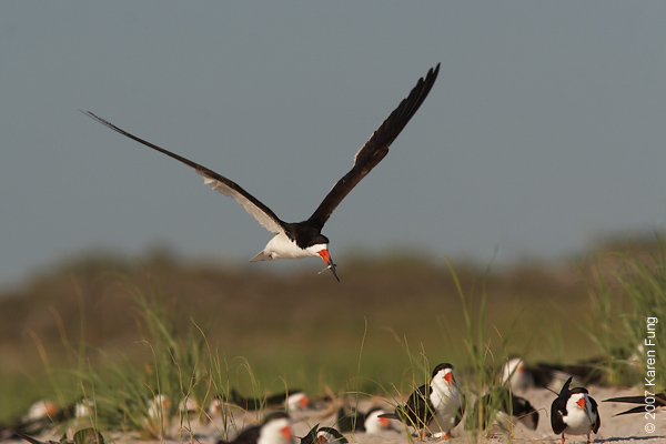 Black Skimmer bringing home a fish
