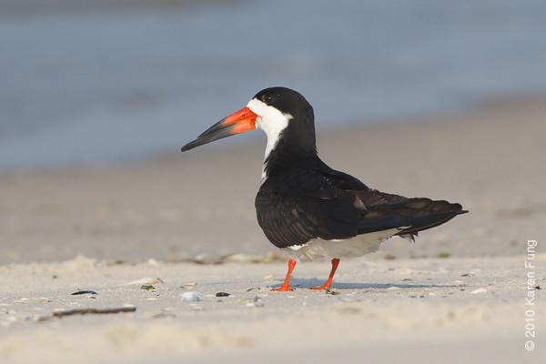 26 June: Black Skimmer