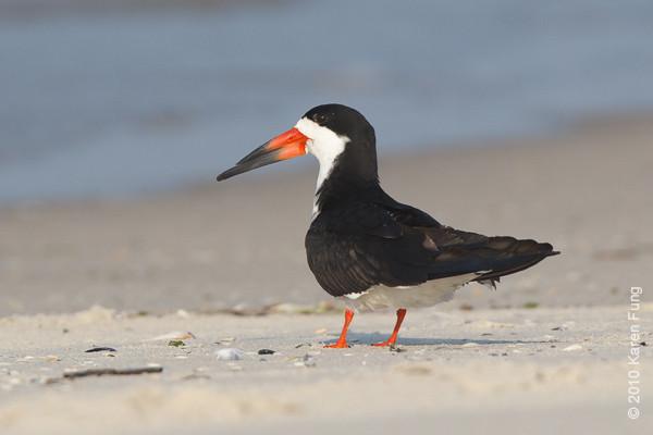 26 June: Black Skimmer