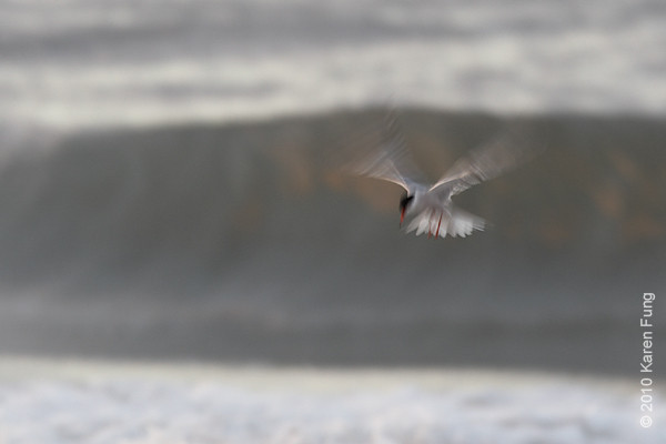 11 July: Common Tern hovering over surf in pre-dawn light